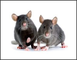 rodents.250x167.jpg