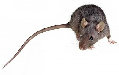 How To Eliminate Roof Rats Custom Weed And Pest Control