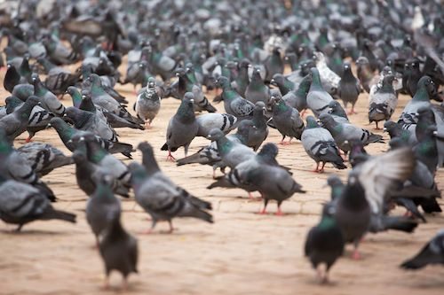 Pigeons in grocery store