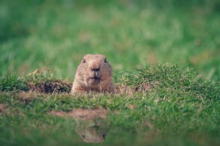 gopher in hole