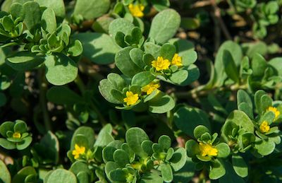 Purslane weed in ground